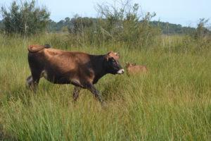 vache landaise