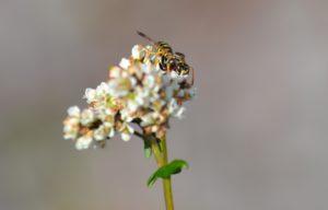 sarrasin pollinisé 2