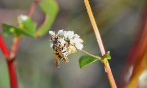 sarrasin pollinisé 3